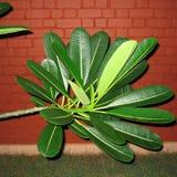 Foglie della pianta di plumeria Fotografie Stock