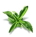 Foglie della pianta di stevia isolate Fotografia Stock