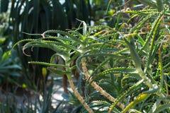 Foglie della pianta di vera dell'aloe Fotografie Stock