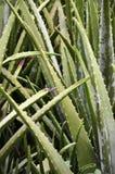 Foglie della pianta di vera dell'aloe Immagini Stock
