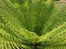 foglie della pianta della felce Fotografia Stock