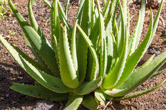 Foglie della pianta medicinale di vera dell'aloe Immagini Stock Libere da Diritti