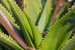 Foglie della pianta medicinale di vera dell'aloe Immagine Stock Libera da Diritti