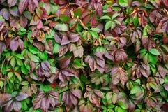 Foglie della pianta ornamentale della cobite nella caduta immagini stock libere da diritti