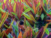 Foglie della pianta tossica di PETRA del croton fotografie stock