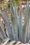 Foglie della pianta verde medicinale di vera dell'aloe Fotografia Stock Libera da Diritti