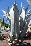 Foglie della pianta verde medicinale di vera dell'aloe Fotografie Stock