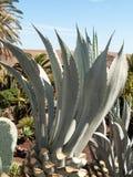 Foglie della pianta verde medicinale di vera dell'aloe Fotografia Stock