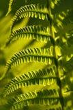 Foglie della plantula di Fern Polypodiophyta Fotografia Stock
