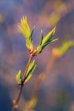 Foglie della primavera Fotografia Stock Libera da Diritti