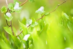 Foglie della primavera immagini stock libere da diritti