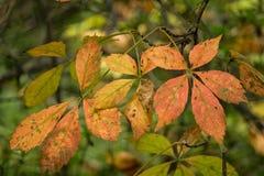 Foglie della quercia castagno della montagna immagini stock