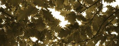 Foglie della quercia con luce solare immagine stock