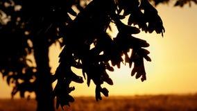 Foglie della quercia contro lo sfondo del tramonto di autunno I raggi del sole attraversano le foglie dell'albero stock footage
