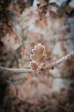 Foglie della quercia coperte di brina Immagini Stock Libere da Diritti