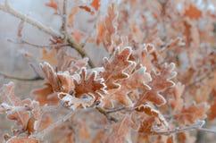 Foglie della quercia coperte di brina Immagini Stock