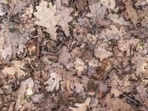 Foglie della quercia del fondo Fotografie Stock