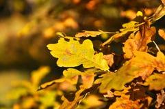 Foglie della quercia di autunno fotografia stock libera da diritti