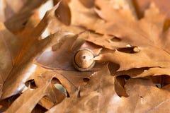 Foglie della quercia e una ghianda Fotografia Stock Libera da Diritti