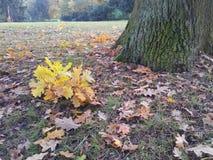 Foglie della quercia gialla cadute accanto al tronco di albero Fotografia Stock