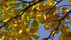Foglie della quercia gialla contro il cielo blu 4K stock footage