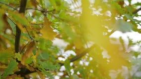 Foglie della quercia gialla nel parco di autunno Movimento lento video d archivio