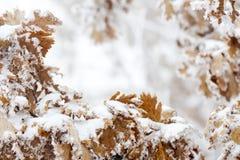 Foglie della quercia nel gelo Immagini Stock