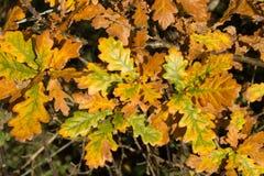 Foglie della quercia nella stagione di autunno Immagine Stock