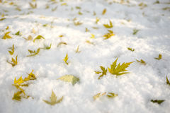 Foglie della quercia rossa sulla neve Fotografia Stock