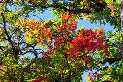 Foglie della quercia rossa, verde e gialla e chiaro cielo blu sui precedenti Fotografie Stock
