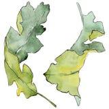 Foglie della quercia in uno stile dell'acquerello isolate Immagine Stock