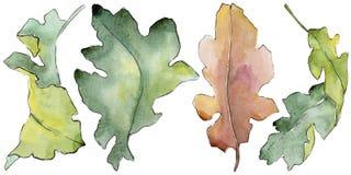 Foglie della quercia in uno stile dell'acquerello isolate Fotografia Stock