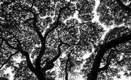 Foglie della siluetta dei rami di albero Immagini Stock Libere da Diritti