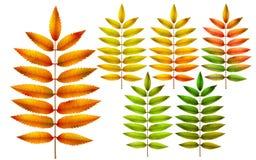 Foglie della sorba di autunno Immagine Stock