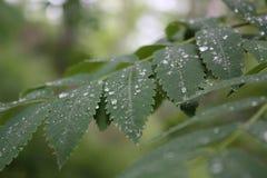 Foglie della sorba dopo pioggia Immagine Stock
