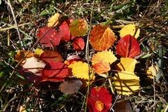 Foglie della tremula di autunno su erba asciutta fotografia stock libera da diritti