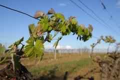 Foglie della vite in Aude, Occitanie nel sud della Francia Immagini Stock