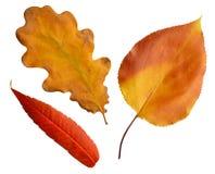 Foglie delle foglie della quercia dell'albicocca Fotografie Stock Libere da Diritti