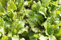 Foglie delle piante della barbabietola Fotografie Stock