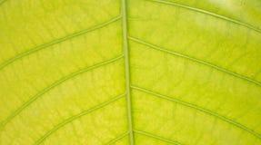 Foglie delle foglie verde chiaro Immagine Stock