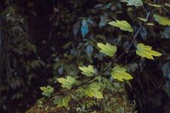 Foglie di acero in Alishan Fotografia Stock