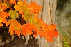 Foglie di acero arancio contro la corteccia di albero Immagini Stock