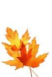 Foglie di acero arancioni Immagini Stock Libere da Diritti
