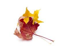 Foglie di acero asciutte di autunno Fotografia Stock