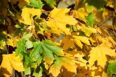 Foglie di acero in autunno fotografie stock libere da diritti