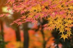 Foglie di acero di autunno al sole Fotografia Stock Libera da Diritti