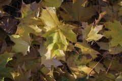 Foglie di acero cadute di autunno con il sole che li colpisce fotografie stock libere da diritti