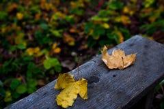 Foglie di acero cadute gialle su un vecchio banco di legno sui precedenti delle foglie variopinte di un letto del giardino della  immagine stock