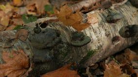 Foglie di acero cadute nella foresta di autunno nel tronco di un albero di betulla caduto stock footage