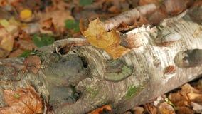 Foglie di acero cadute nella foresta di autunno nel tronco di un albero di betulla caduto archivi video